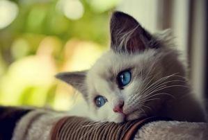 termenung_kucing